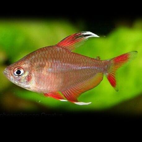 Hyphessobrycon bentosi white fin >3 cm