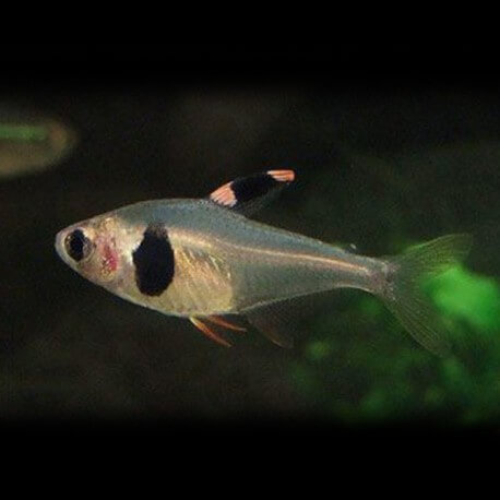 Hyphessobrycon takasei 2-2,5cm