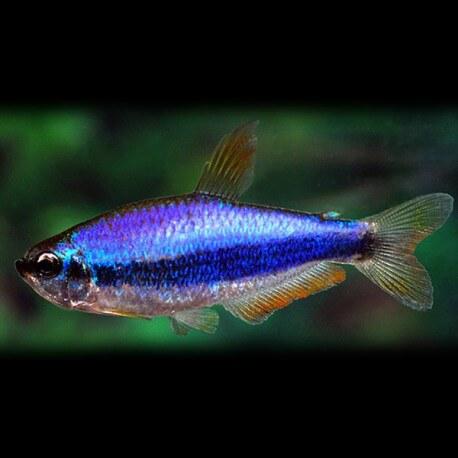 Inpaichthys kerri super blue +3,8cm