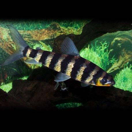 Leporinus affinis 7cm