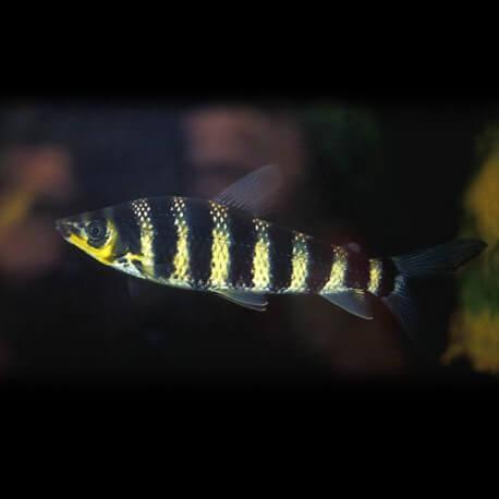 Leporinus octofasciatus 6-9cm