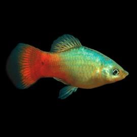 Xiphophorus maculatus blue - red 3 - 4 cm