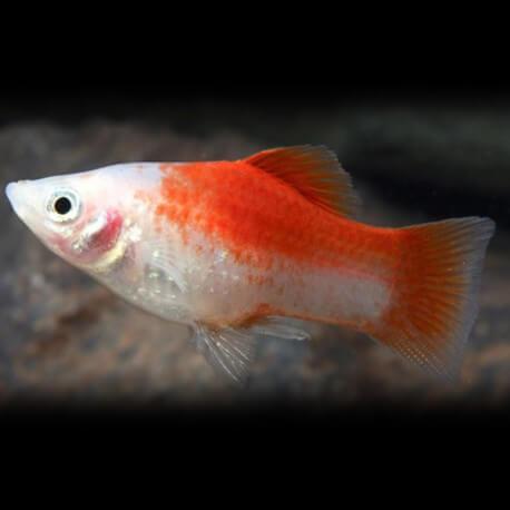 Xiphophorus maculatus red & white 3 - 4 cm