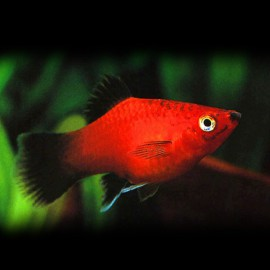 Xiphophorus maculatus red wagteil 2 - 2,5 cm