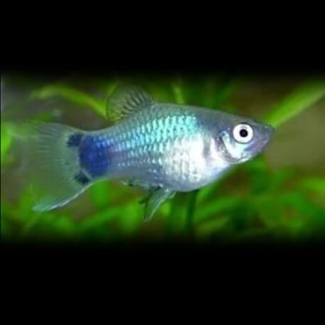 Xiphophorus maculatus spec. blue 3 - 4 cm