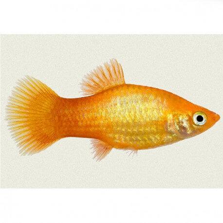 Xiphophorus variatus orange gold 3 cm