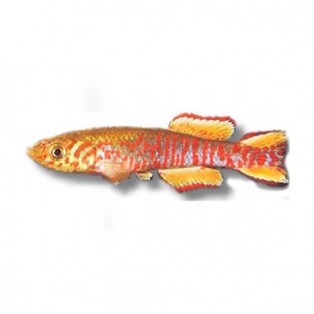 Aphyosemion walkeri red 3 - 5 cm