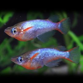 Oryzias woworae 1-2 cm