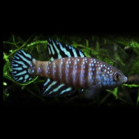 Simpsonichthys sp. Urucuia 2,5cm