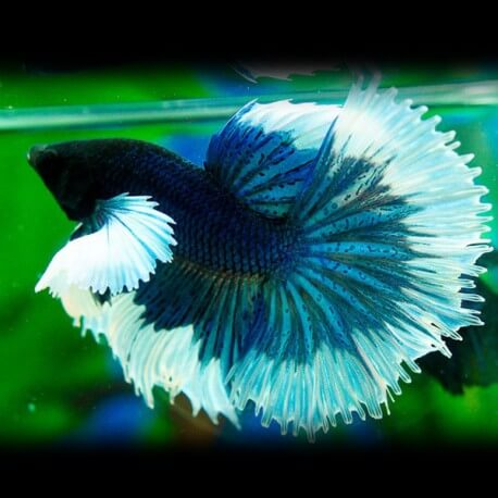 Betta splendens elephant ear pairs XL