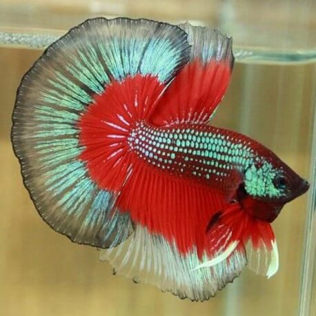 Betta splendens halfmoon butterfly male l univers aquatique for Nourriture combattant
