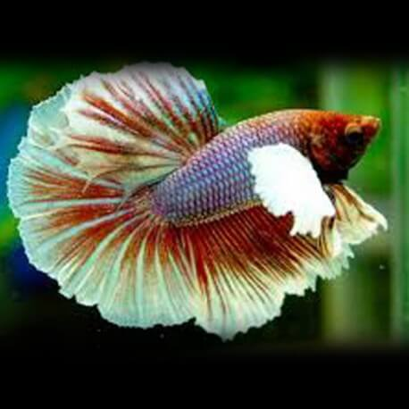Betta splendens m SuperDelta big ears M