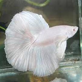 Betta spl. male albino XL XL