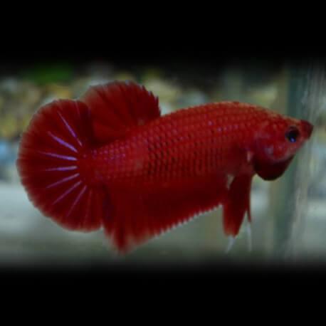 Betta splendens cambodian red XL