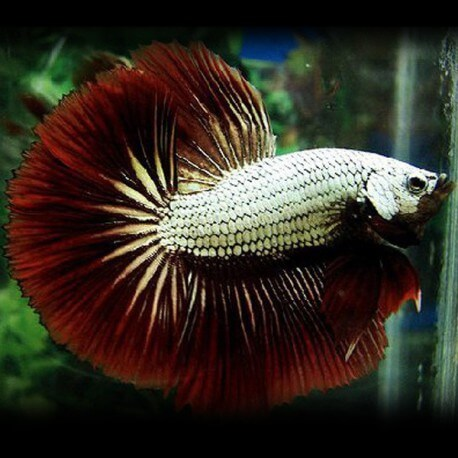 Betta spl. male dragon mix XL