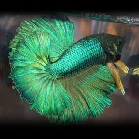Betta spl. male green XL XL
