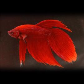 Betta spl. male veiltail red XL