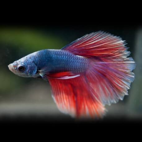 Betta splendens salamander XL