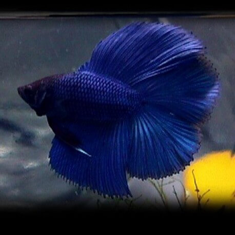 Betta splendens male DoubleTail  blue XL