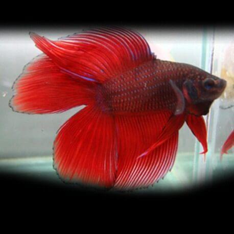 Betta splendens male DoubleTail  red XL