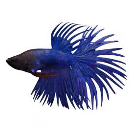Betta spl. male crowntail blue XL