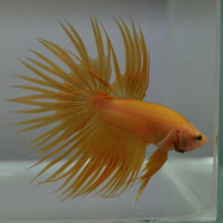 Betta splendens male crowntail yellow orange XL