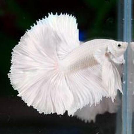 Betta splendens male halfmoon super white L
