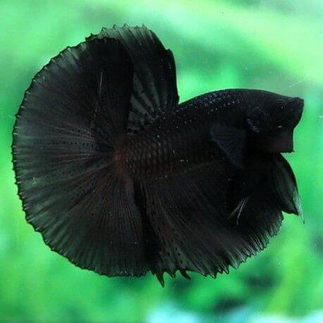 Betta splendens plakat / halfmoon super black L