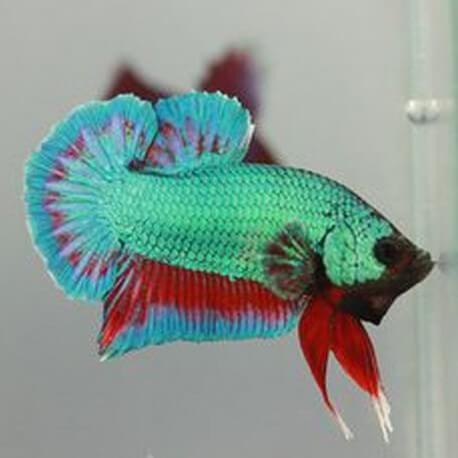 Betta splendens plakat halfmoon green red dragon L
