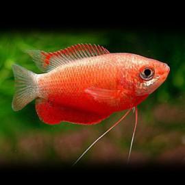 Colisa chuna red 3,5 - 4 cm