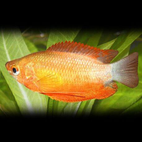 Colisa labiosa orange 3 - 4 cm
