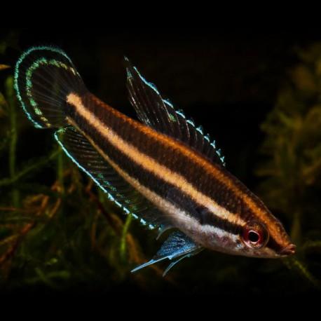 Parosphromenus anjunganensis 2-4cm
