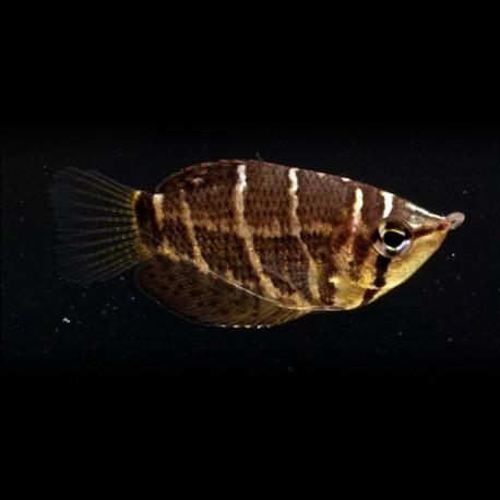 Sphaerichthys selatanensis 2,5-3cm