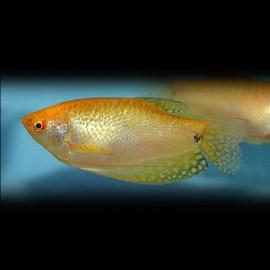 Trichogaster trichopterus gold 6 - 7 cm