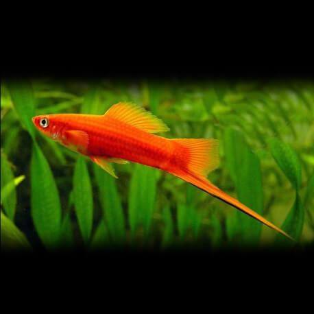 Xiphophorus helleri red 5 - 6 cm