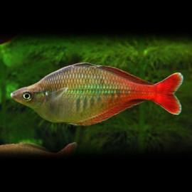 Chilatherina bleheri 4,5 - 5,5 cm