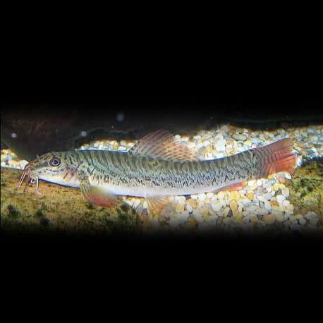 Acanthocobitis rubidipinnis 4-5cm