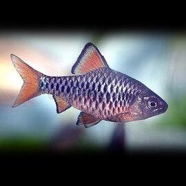 Barbus /Capoeta/ oligolepis 2,5 - 3 cm