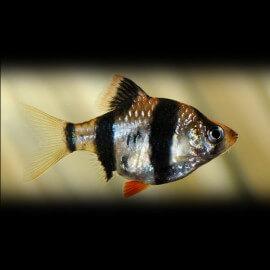Barbus /Capoeta/ tetrazona 2,5 - 3 cm