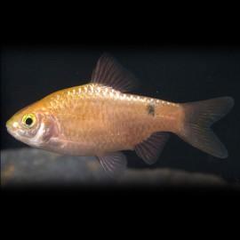 Barbus /Puntius/ conchonius gold > 4,5 cm