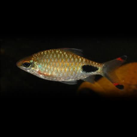 Barbus Puntius filamentosus 5-6cm