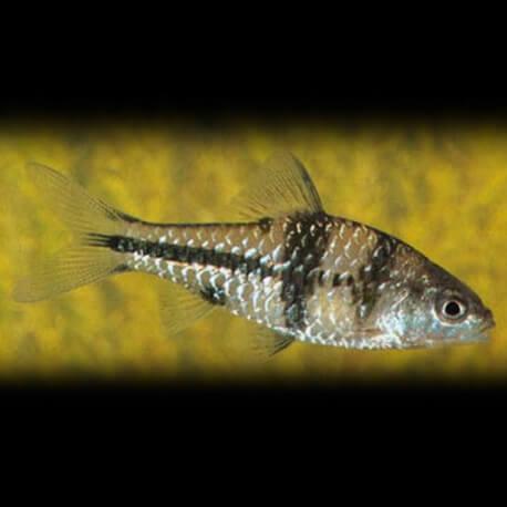 Barbus Puntius lateristriga 5-6cm