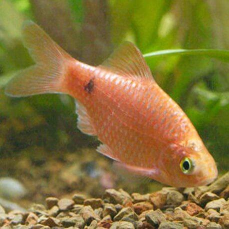 Barbus conchonius neon orange supercolor 3,5-4cm