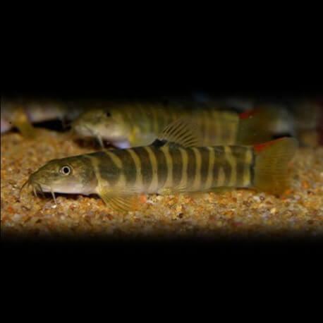 Noemacheilus fasciatus red tail 6cm