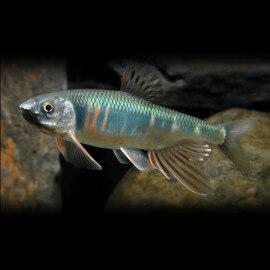 Zacco platypus 14-15cm