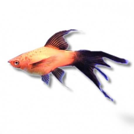 Xiphophorus helleri « Xipho » ADA red lyre 4-5cm