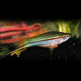 Xiphophorus helleri green 5 - 6 cm