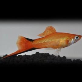 Xiphophorus helleri commet pink 4 - 5 cm