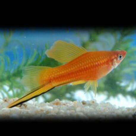Xiphophorus helleri « Xipho » red light 4-5cm