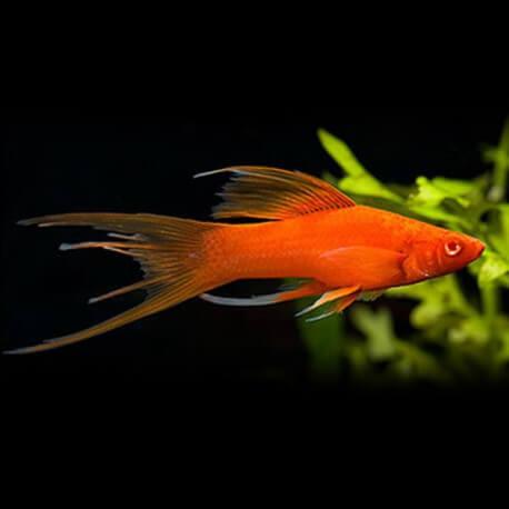 Xiphophorus helleri red lyra 4 - 5 cm